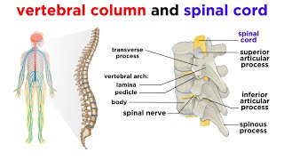 The Central Nervous System The Brain and Spinal Cord