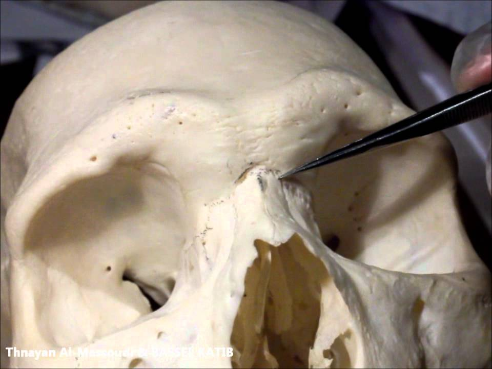 Norma Frontalis Of The Skull Med11 Youtube