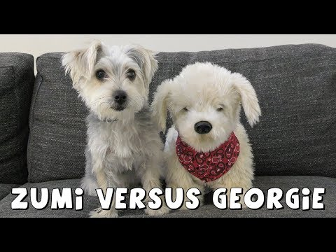 DCTC Zumi versus Georgie the Interactive Puppy | DCTC Amy Jo videos for kids