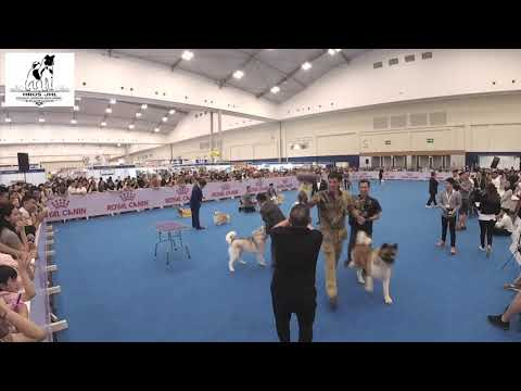 (DOG SHOW) APAC BEST IN SHOW WINNERS at Indonesia Winner Show 2019