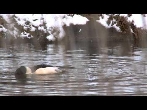 Vroege Vogels - Van eenden tot zaagbekken