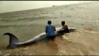 Blue wale saved by two man in Mangalore beach