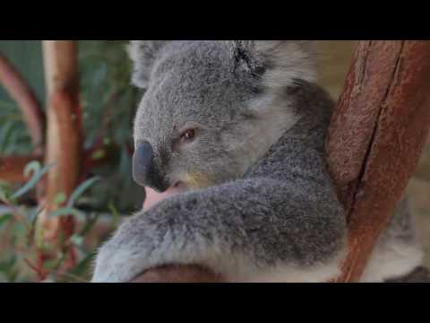 This Cuddling Koala is just too much