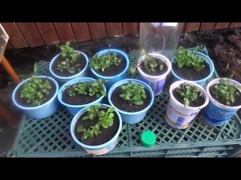 Лобелия - выращивание и уход / Посадка лобелии на рассаду в феврале