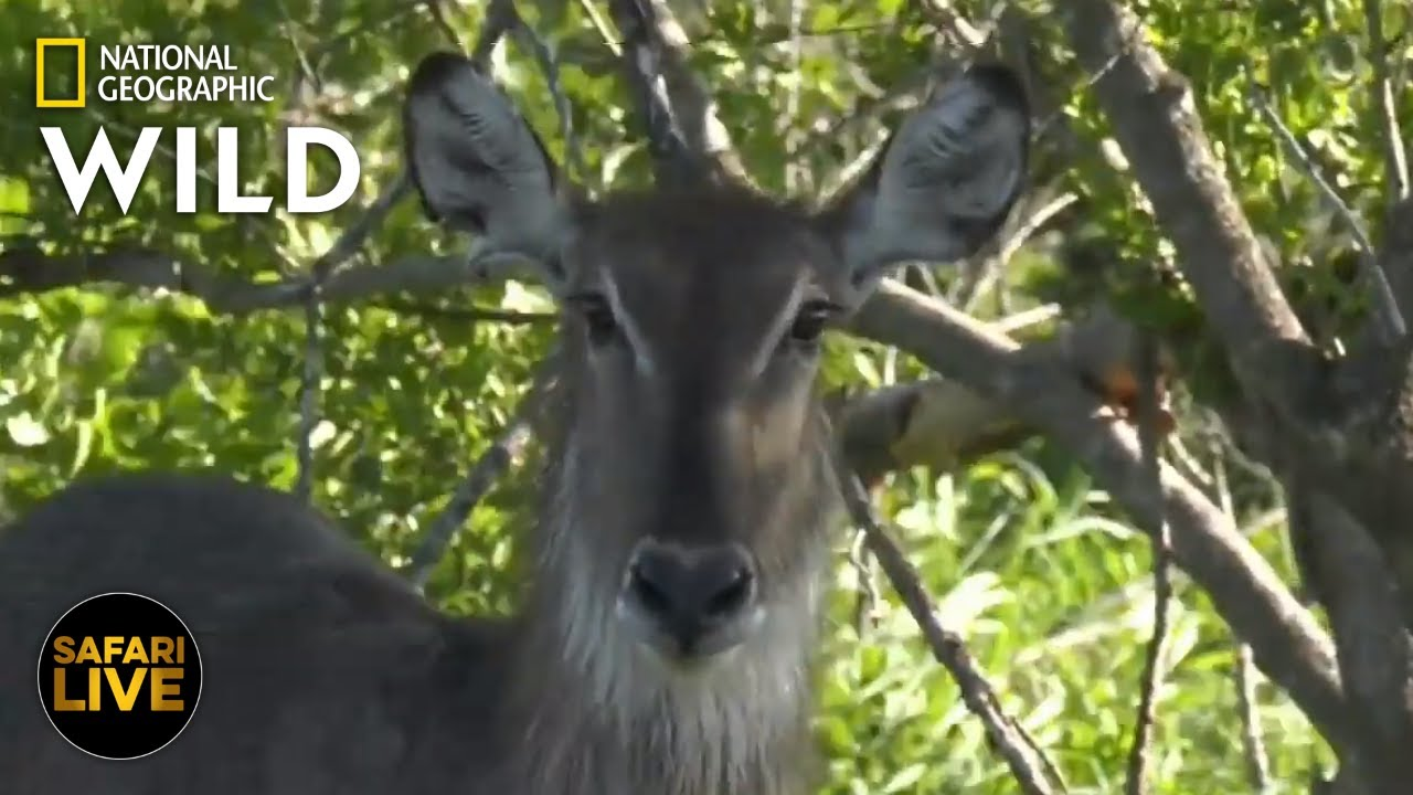 Safari Live - Day 294 | Nat Geo Wild