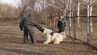 """Дрессировка собак из питомника """"Волжский Утес""""."""