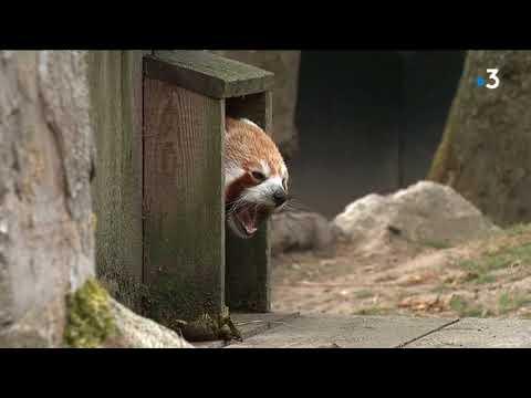 Au zoo de Lille, Mambo la femelle panda roux a fait sa première apparition