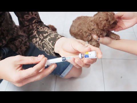 Tiêm vacxin cho chó con phòng tránh bệnh – cần chú ý