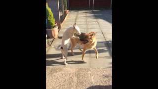 German Shepherd And Staffy X Love
