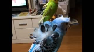 Волнистый попугай разновидность хохлатых