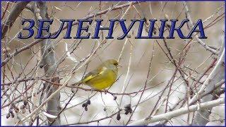 Зеленушка питается плодами Лоха Узколистного / European greenfinch
