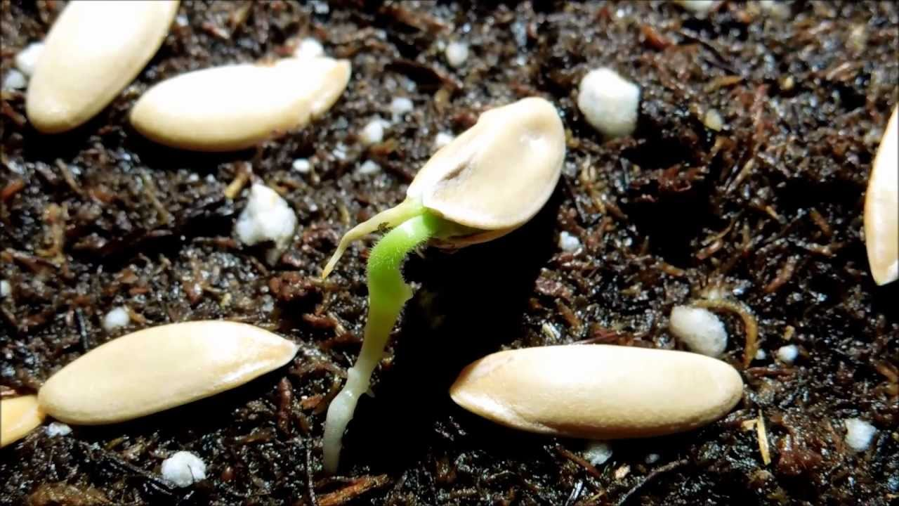 Growing Honeydew Melon From Seeds Days 6 10 Youtube