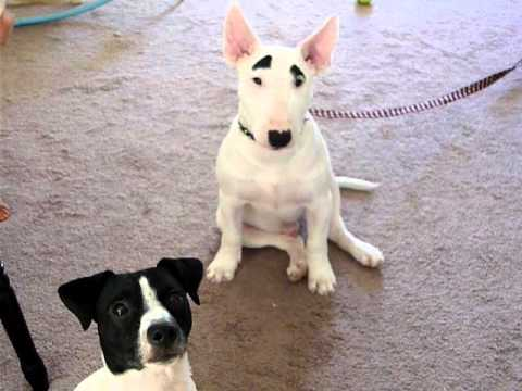 Mini English Bull Terrier And Jack Russell Bullet Youtube