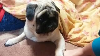パグ犬ムゥは,寒い季節になってきたのでこたつの中でいます。その横で子...