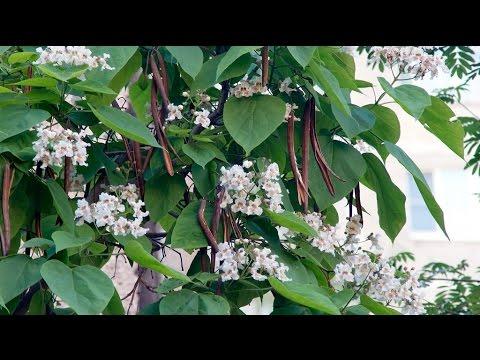 Как называется дерево с длинными листьями