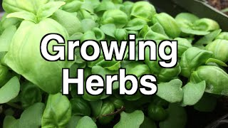 How to Grow Herbs Simply Indoors