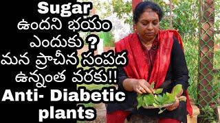 Natural health remedies for Sugar problem/Podapathri plant/Insulin plant/పొడపత్రి, ఇన్సులిన్ మొక్#59