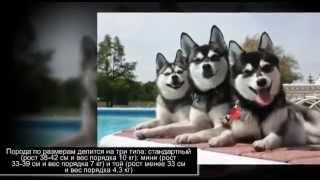 Маленькие породы собак Аляскинский кли кай