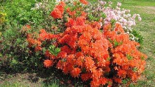Лучшие кустарники, цветущие в мае  ЧАСТЬ 1