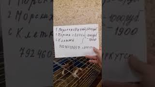 Продажа морских свинок