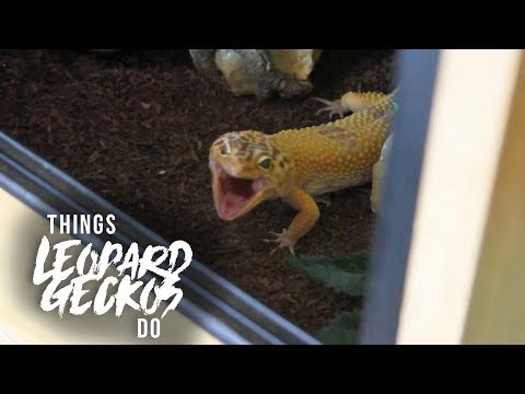 16 Things That Leopard Geckos Do!