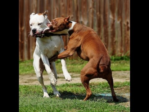 Vicious dog Fight caught on camera! - YouTube