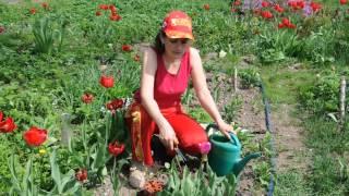 Смотреть видео цветы тюльпаны что делать после цветения