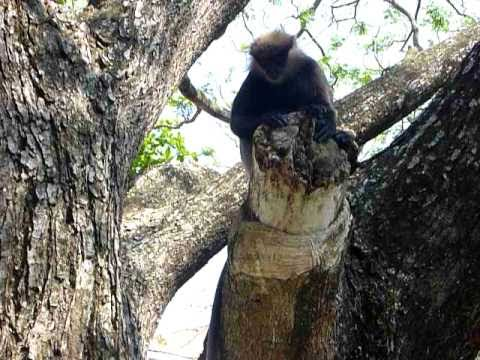 Sri Lanka,ශ්රී ලංකා,Ceylon,Monkey climbing a tree at Galle Fort (03)