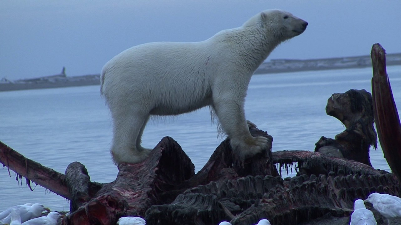 polar bears eating whale carcass polar bears eating whale carcass