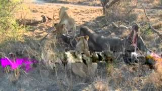 July 16 WildEarth Safari AM drive (Lions galore)