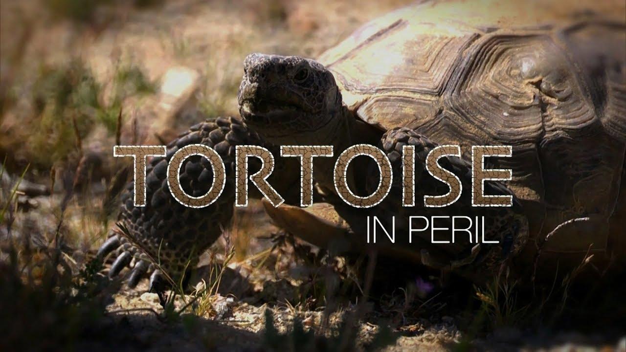 Tortoise in Peril