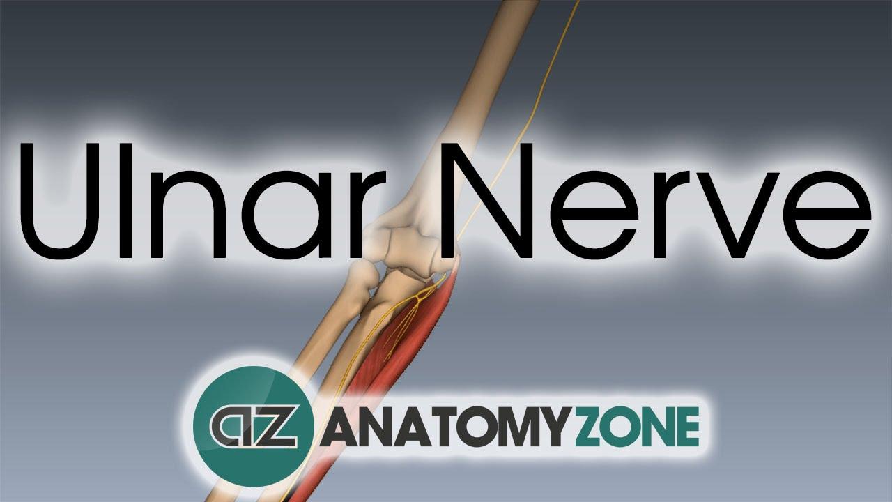 Ulnar Nerve 3d Anatomy Tutorial Youtube