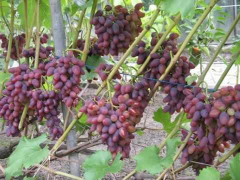 Саженцы Саженцы от производителя Саженцы винограда