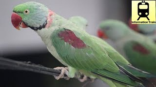 How can parrots talk like humans ?    Short answer
