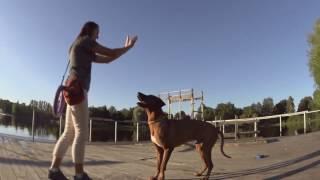 Родезийский риджбек. Трюки с собакой.