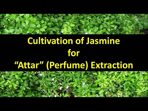 Cultivation of Jasmine