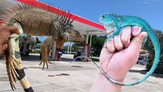Are iguanas Evolving?!?! Red and Blue iguana Caught!