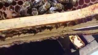 Kovana kabul edilen ana arının sesi