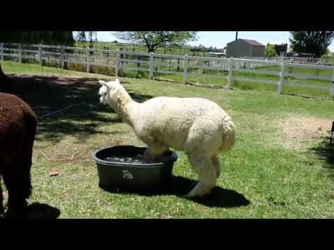 This Summer, We Are All This Alpaca