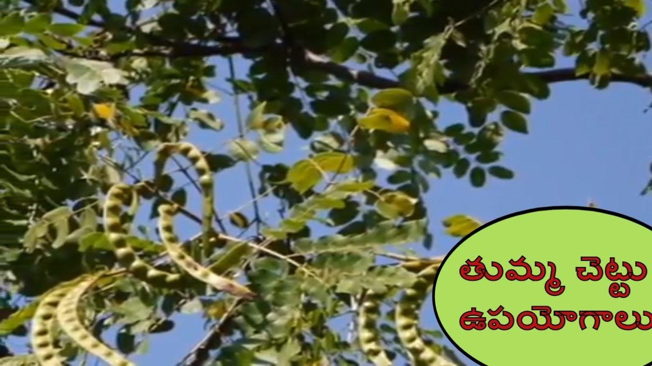 Medicinal Uses Of Babul Tree Thumma Chettu Upayogalu Health