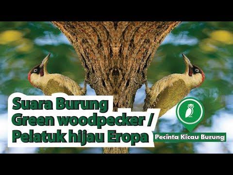 Suara Burung Woodpecker/ Kicau Burung Pelatuk