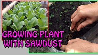 #TIS#CARA MUDAH Tanam Sawi dgn Serbuk Gergaji [How to Garden with Sawdust]