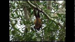 Singe Hurleur du Costa Rica