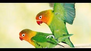 love birds | romance | kiss scene | bird romance | garnier_sagar
