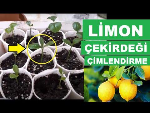 En Kolay Limon çekirdeği çimlendirme ve Limon Fidanı Yetiştirme yöntemi