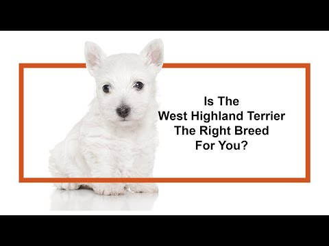 Learn all about the West Highland Terrier and why they could be your perfect pet!