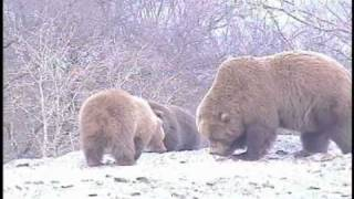 MONSTER MOTHER GRIZZLY! WATCH OUT! SINNE...