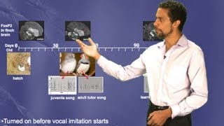 Erich Jarvis (Duke/HHMI) Part 2: Motor theory of vocal learning origin