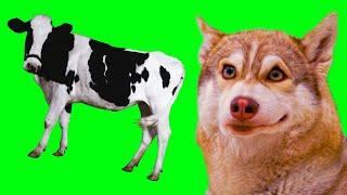 Я СОЖРАЛ КОРОВУ Хаски Бублик Говорящая собака Mister Booble