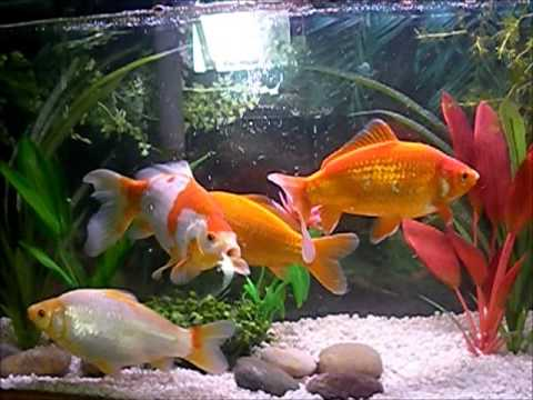 8 inch common goldfish 55 gallon tank youtube for 10 gallon koi tank